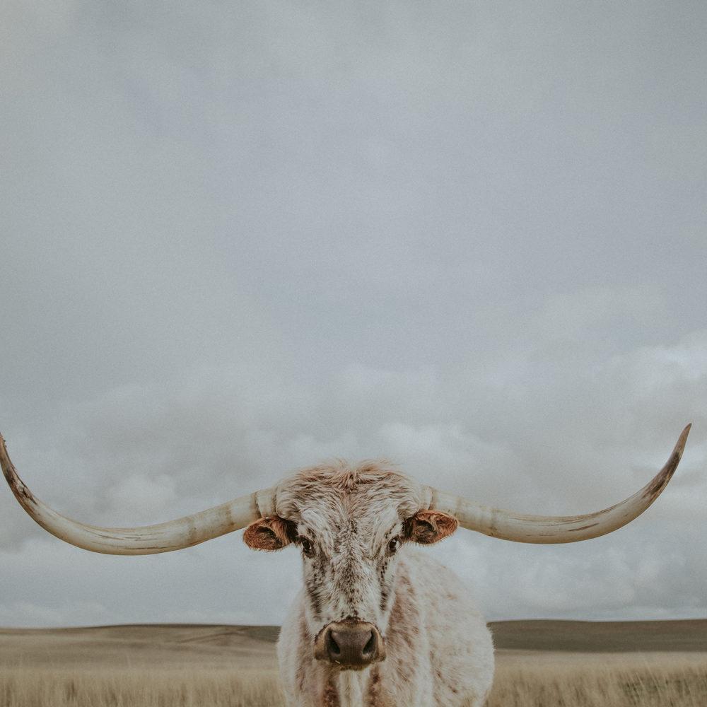 longhorn western art print