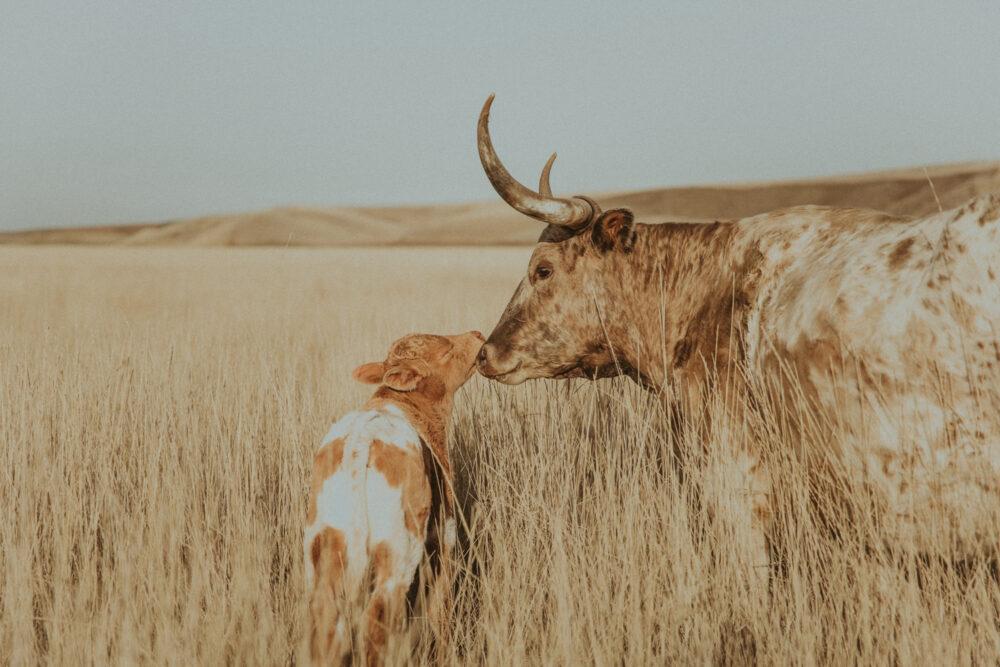 western print of longhorn cow