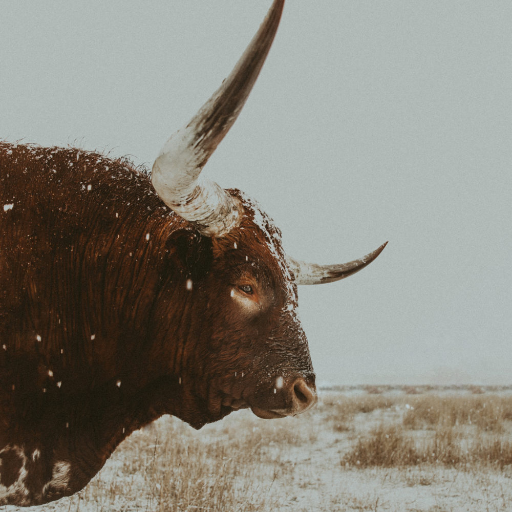 longhorn bull western art print
