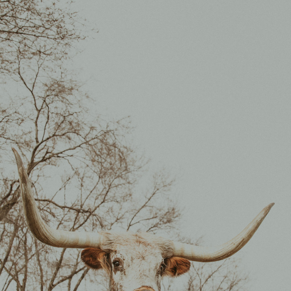 western art print of longhorn cattle