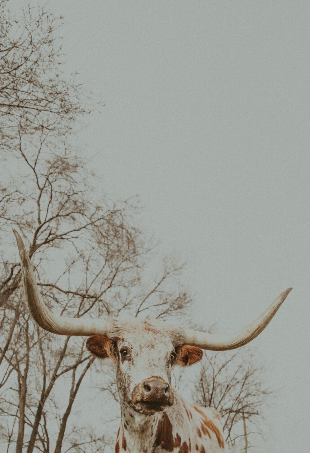 western art print of longhorn cattle