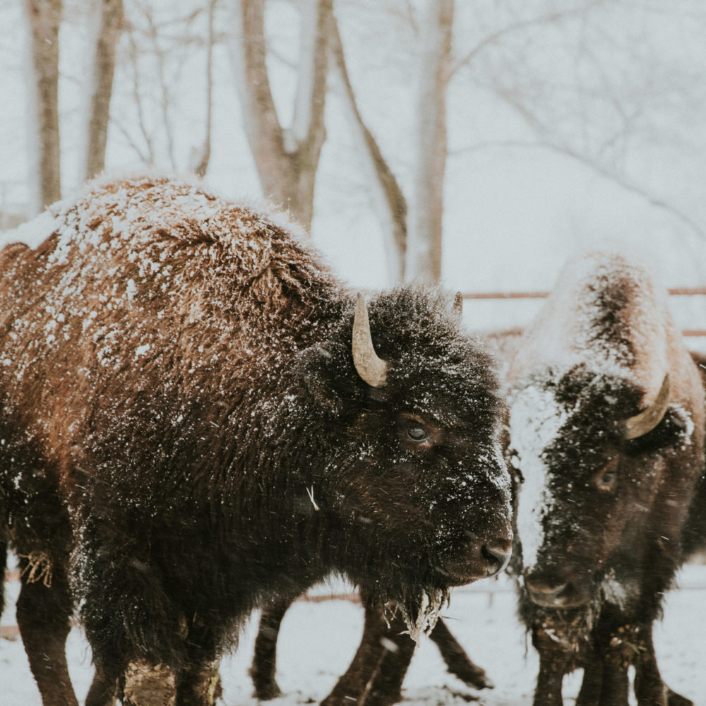 Buffalo Paper Prints