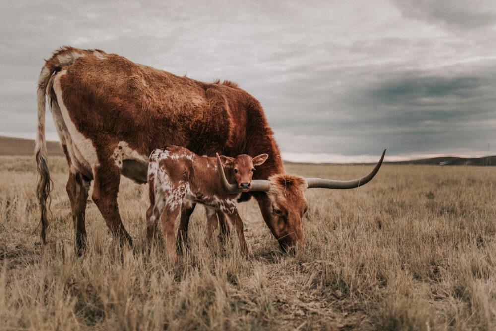 cow western art print
