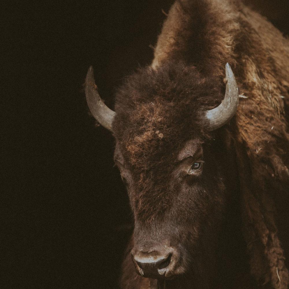 buffalo western print
