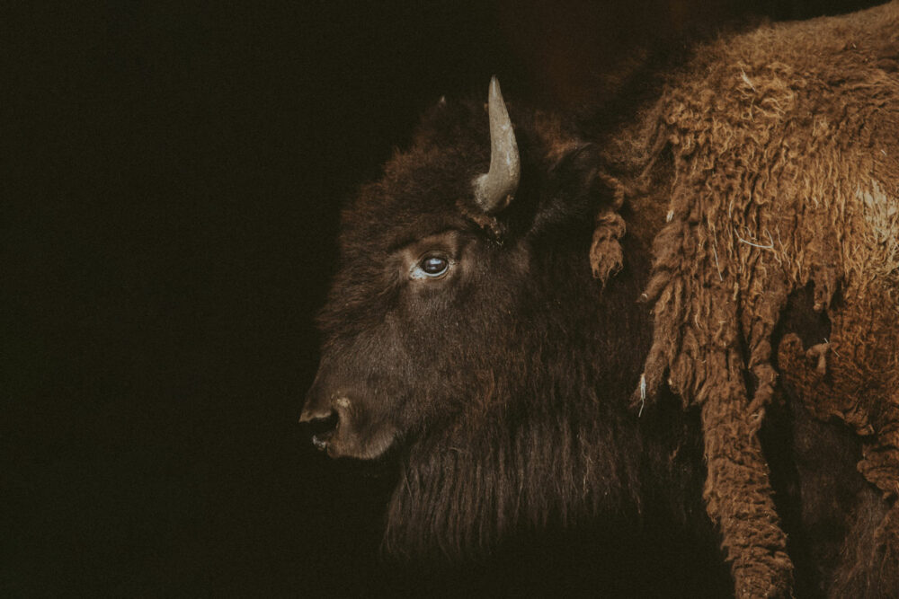 western art buffalo print