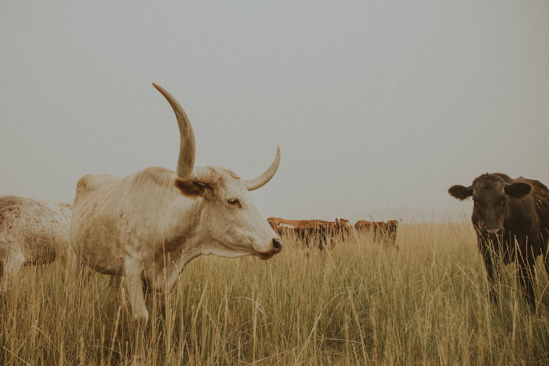 longhorn photo